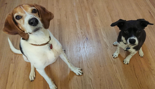 A Walker coonhound and a black and white dog